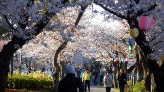 桜並木のアーチ