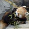 レッサーパンダ食事中(王子動物園)-animal