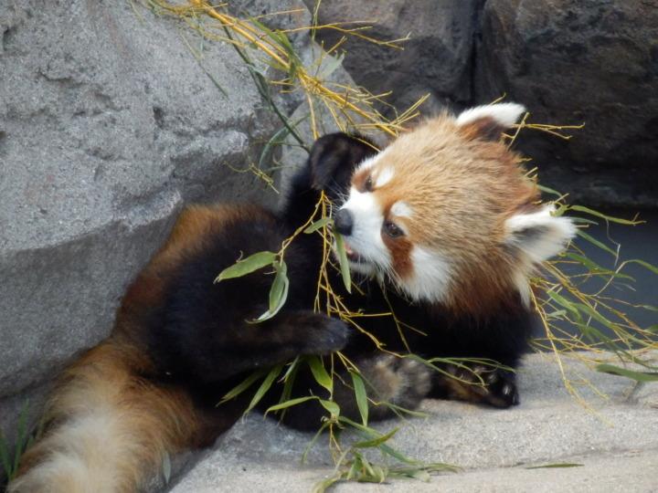 レッサーパンダ食事中(王子動物園)