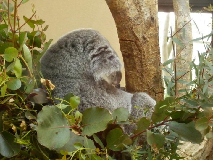 コアラ就寝中
