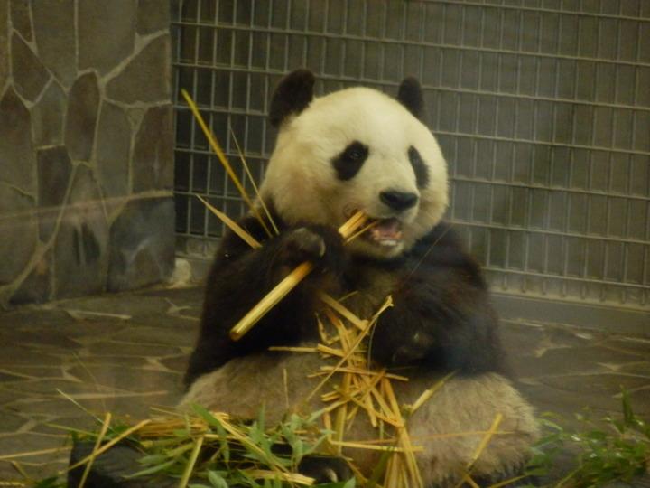 パンダ食事中(王子動物園)