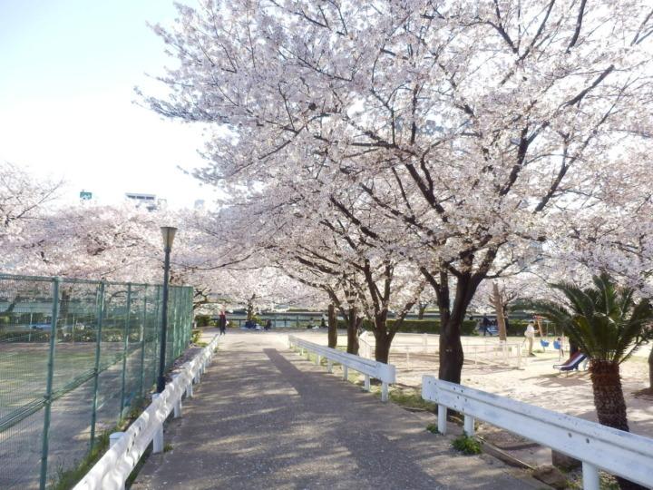 桜とテニスコートと遊歩道の入り口