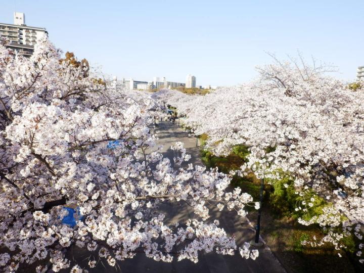 上から撮影した桜並木