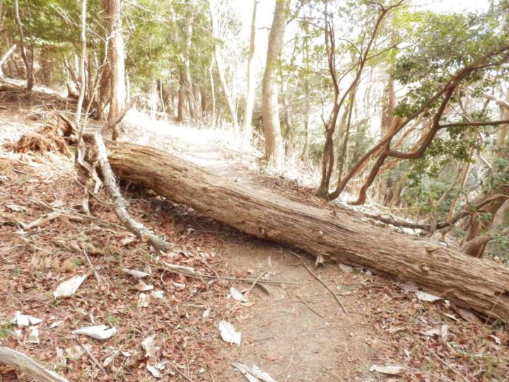 妙見山大堂越コースの道をふさぐ大木