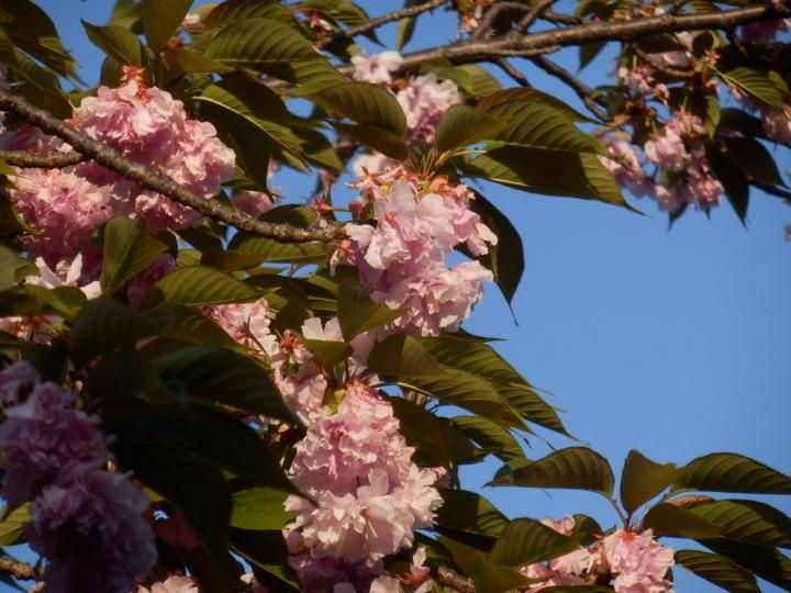 桜の通り抜け「桜1」