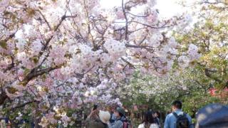 桜の通り抜け内部
