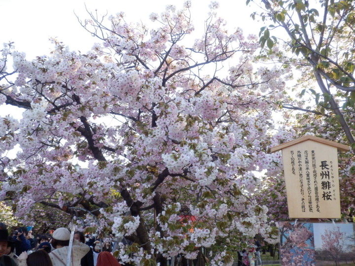 桜の通り抜け「桜その2」