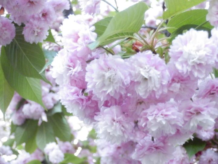 桜の通り抜け「桜その4」