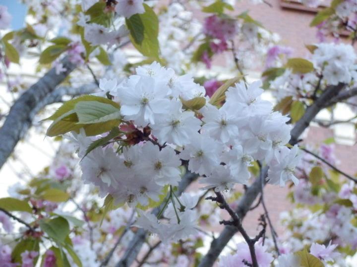 桜の通り抜け「桜その3」