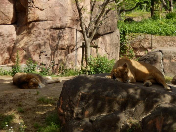 ライオンの雄と雌