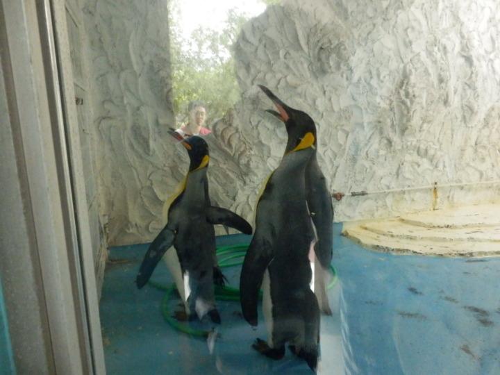 コウテイペンギンエサやり1