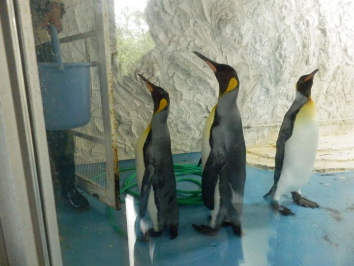 コウテイペンギンエサやり2
