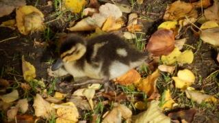 Child-duck