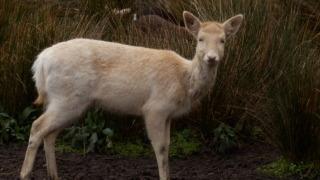 ウィローバンク-鹿