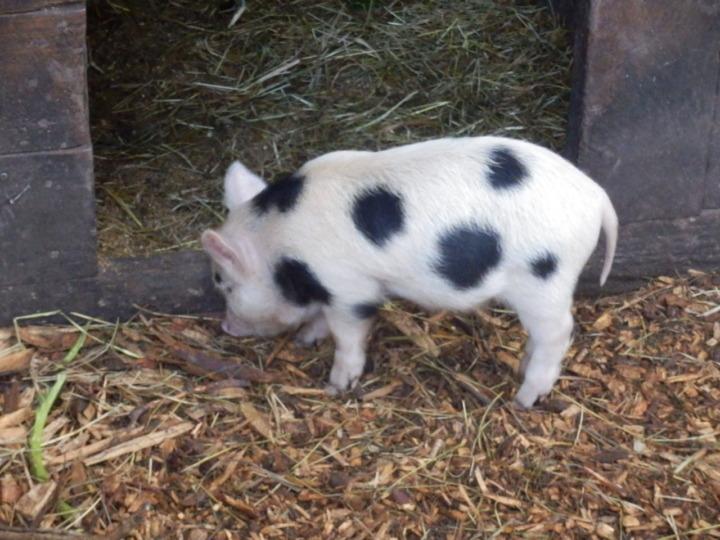 ウィローバンク-子豚