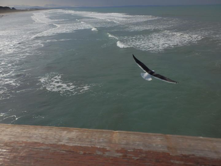 カモメ飛翔