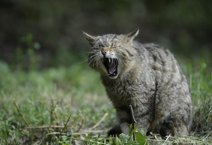 あくび-猫