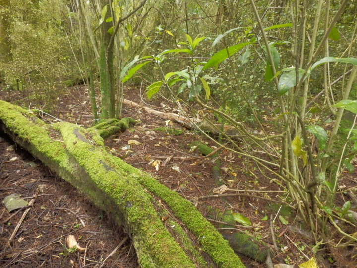 リッカートンブッシュ-原生林4