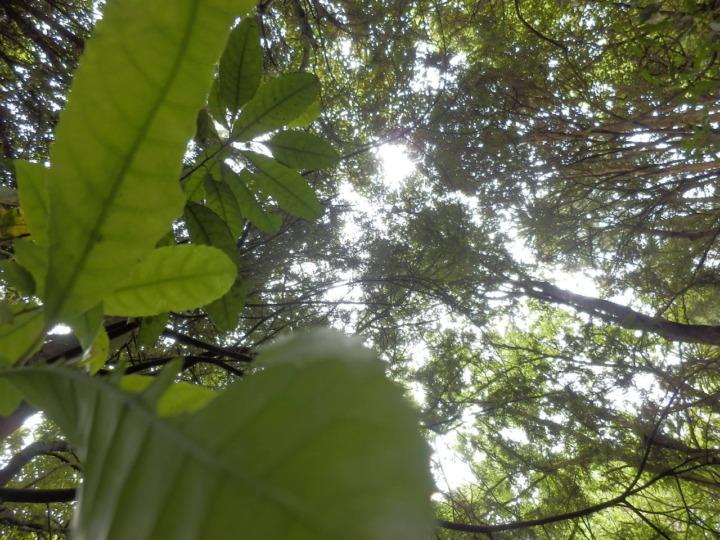 リッカートンブッシュ-原生林2