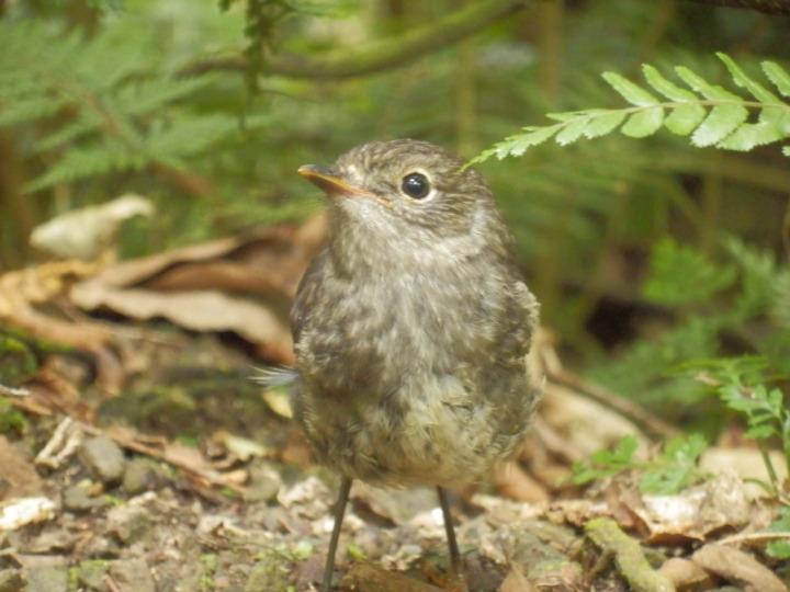 ジーランディア-ニュージーランド-小鳥-かわいい